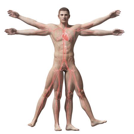uomo vitruviano: Uomo Vitruviano - sistema vascolare Archivio Fotografico