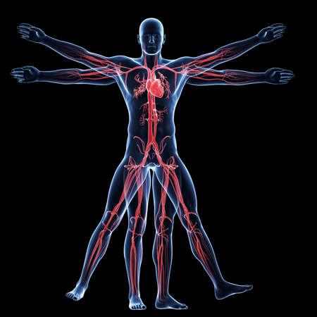 personnes noires: L'homme de Vitruve - syst�me vasculaire Banque d'images