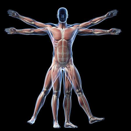 cuerpo hombre: Hombre de Vitruvio - Sistema muscular Foto de archivo