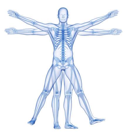 huesos humanos: Hombre de Vitruvio - esqueleto Foto de archivo