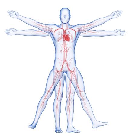 aortic bodies: vitruvian man - vascular system Stock Photo