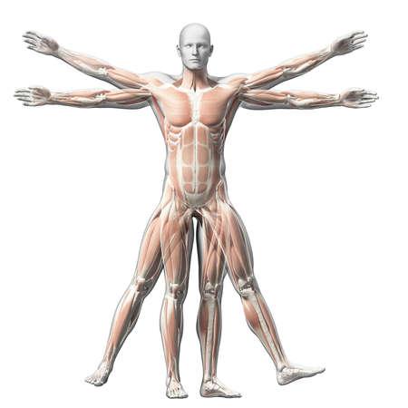 struktur: Vitruvian man - muskelsystemet Stockfoto
