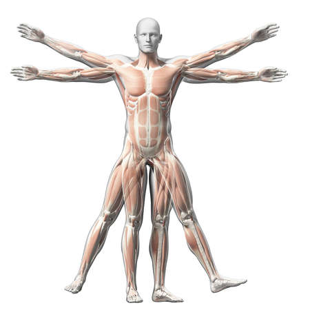 humans: vitruvian man - muscle system