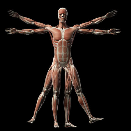 vitruvian man - muscle system photo