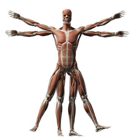 fisiologia: Hombre de Vitruvio - Sistema muscular Foto de archivo