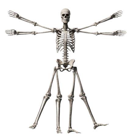vitruvian: vitruvian man - skeleton