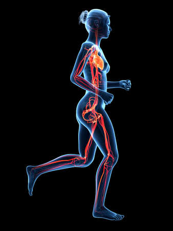 medical 3d illustration - jogging woman - visible cardiovascular system illustration