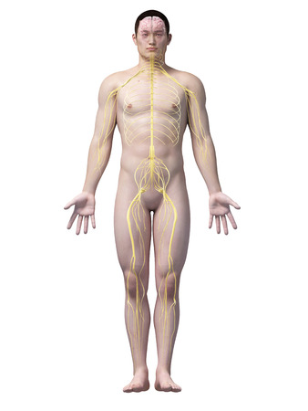 sciatic nerve: illustration of the nerves of an asian male guy