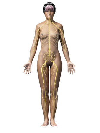 sacral nerves: anatomy of an african american woman - nerves