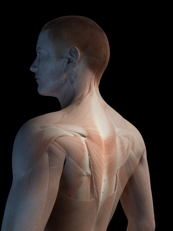 male muscle: medical 3d illustration - male muscle system - back muscles Stock Photo