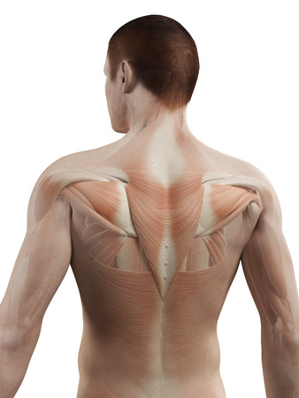 medical 3d illustration - male muscle system - back muscles Stock Photo