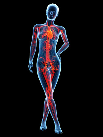 transparent system: medical 3d illustration - female anatomy - cardiovascular system Stock Photo