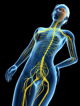 medical 3d illustration - female anatomy -  nervous system illustration