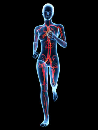 blood vessels: medical 3d illustration - female jogger with visible cardiovascular system Stock Photo