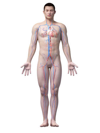 aorta: illustration of the vascular system of an asian male guy
