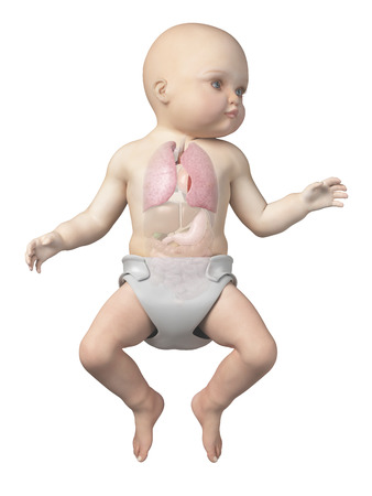 airways: medical illustration showing the lung of a baby