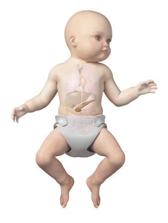 pancreatitis: medical illustration showing the pancreas of a baby Stock Photo