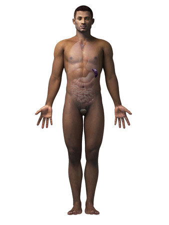 spleen: anatomy of an african american man - spleen