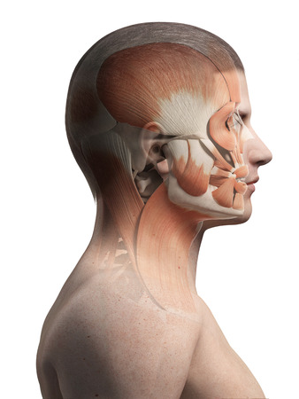 facial muscles: medical illustration of the male facial muscles Stock Photo