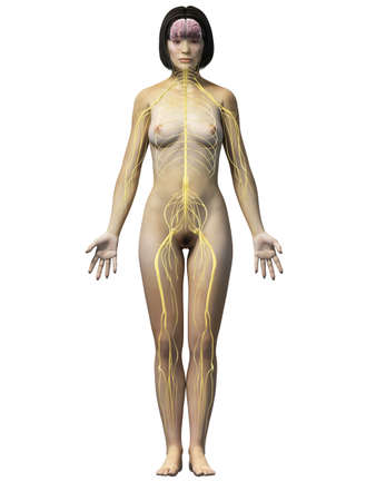 anatomy of an asian woman - nerves