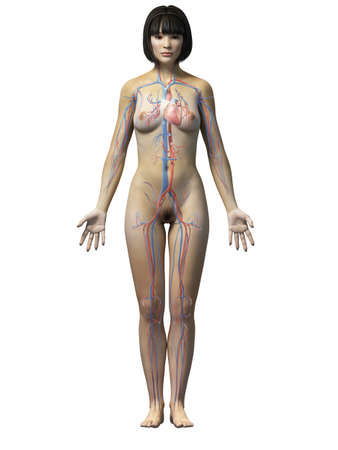 anatomy of an asian woman - vascular system Stock Photo