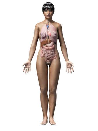 spleen: anatomy of an african american woman - organs