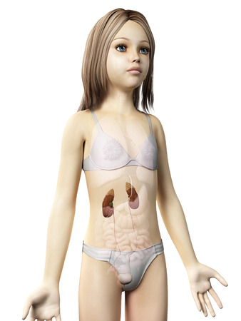 anatomy of a young girl - the urinary system photo