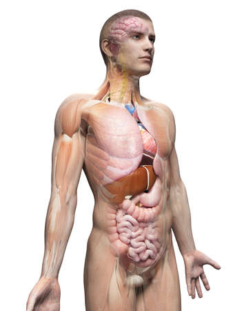 higado humano: ilustración médica de la anatomía masculina