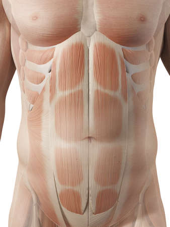 abdominal: medical illustration of the male abdominal muscles