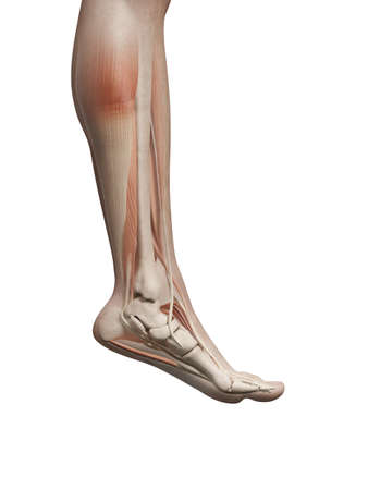 de rodillas: ilustración médica de los músculos de las piernas masculinas
