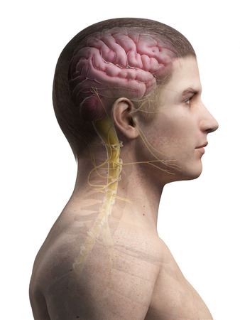 sacral nerves: medical illustration of the human brain and nerves Stock Photo