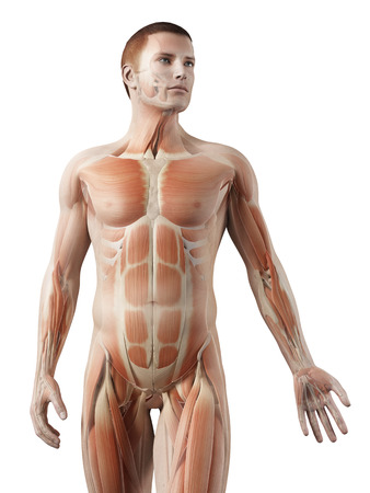 transparent male anatomy: medical 3d illustration - male muscle system - upper body Stock Photo