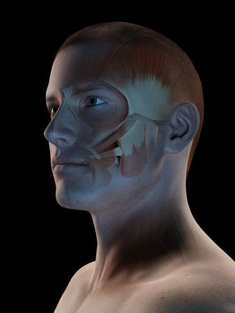 facial muscles: medical 3d illustration - male muscle system - facial muscles