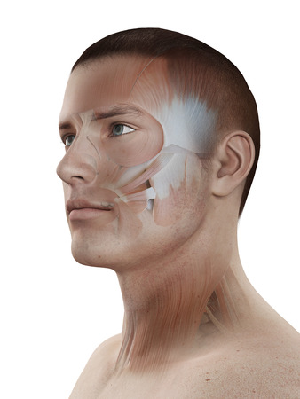 transparent male anatomy: medical 3d illustration - male muscle system - facial muscles