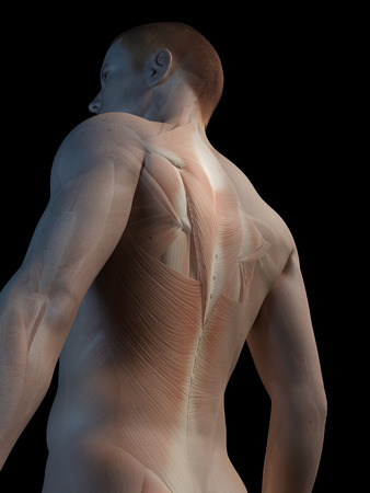 trapezius: medical 3d illustration - male muscle system - back muscles Stock Photo