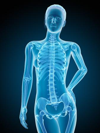 sternum: medical illustration of the female skeleton