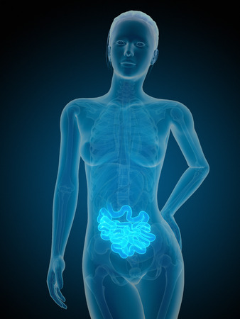 small intestine: medical illustration of the female small intestine Stock Photo