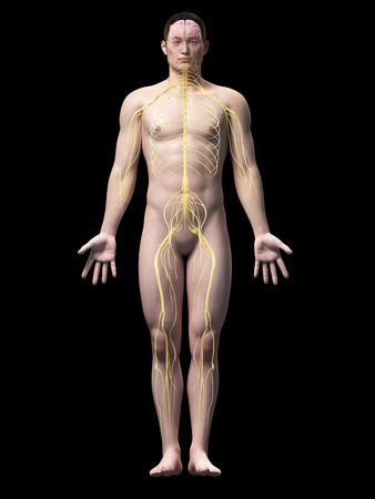 sacral nerves: illustration of the nerves of an asian male guy