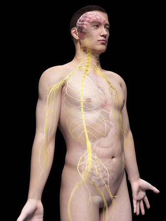 sacral nerves: illustration of the nerves of an asian male guy