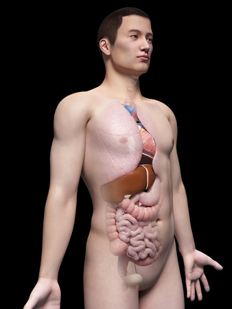illustration of the organs of an asian male guy illustration