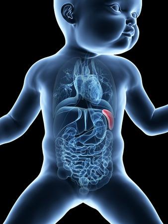 spleen: medical illustration showing the spleen of a baby