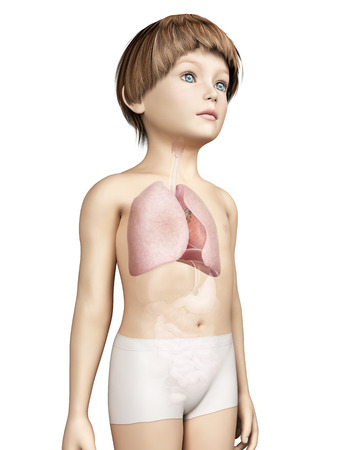 trachea: anatomy of a young child - lung