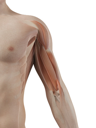 shoulder anatomy: medical illustration of the biceps muscle