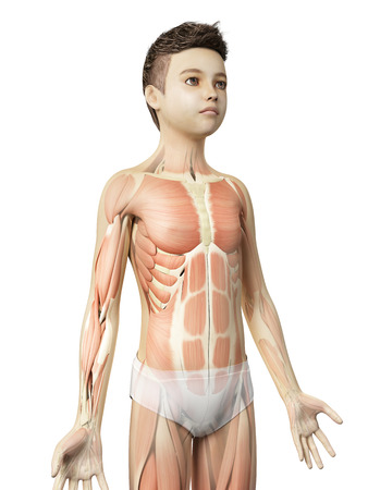 anatomy muscles: anatomy of a young boy - the muscles