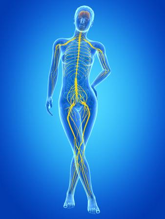 sciatic nerve: medical illustration of the female nervous system