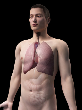 airways: illustration of the lung of an asian male guy