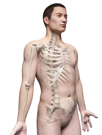 sternum: illustration of the skeleton of an asian male guy