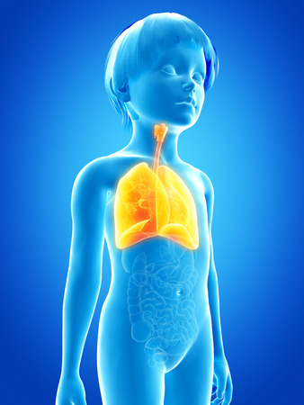 airways: anatomy of a young child - lung