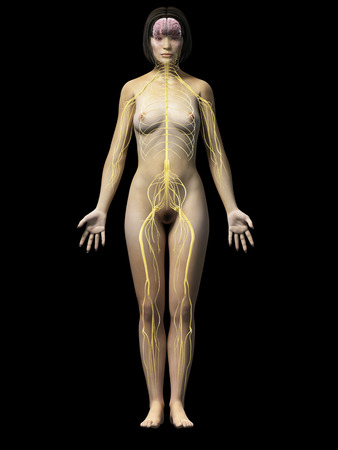 median: anatomy of an asian woman - nerves