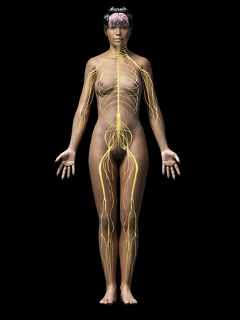 median: anatomy of an african american woman - nerves